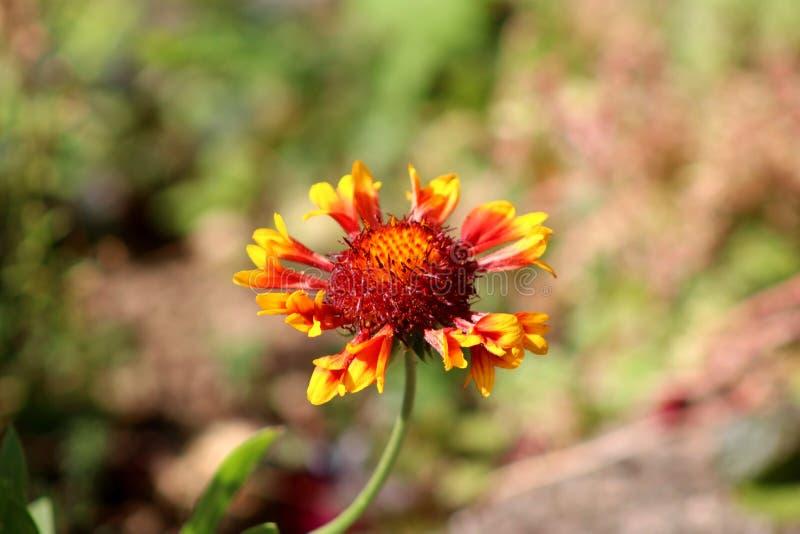Pospolita galardia lub galardii aristata odwiecznie wildflower z kolorem żółtym czerwonawi płatki fotografia royalty free