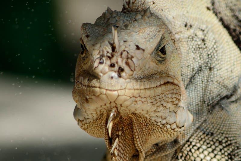 pospolita iguana zdjęcie stock