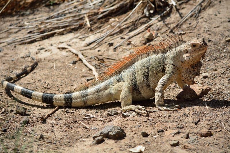 pospolita iguana zdjęcia royalty free