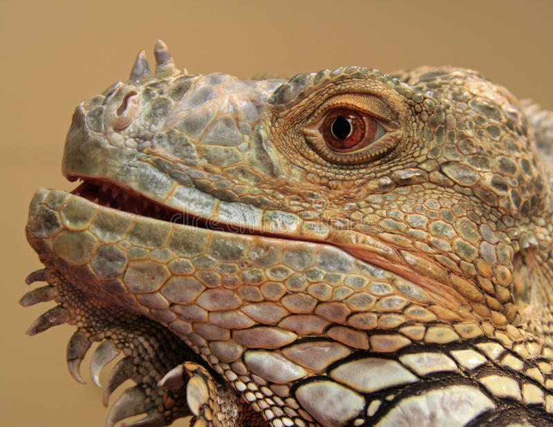 pospolita iguana fotografia royalty free