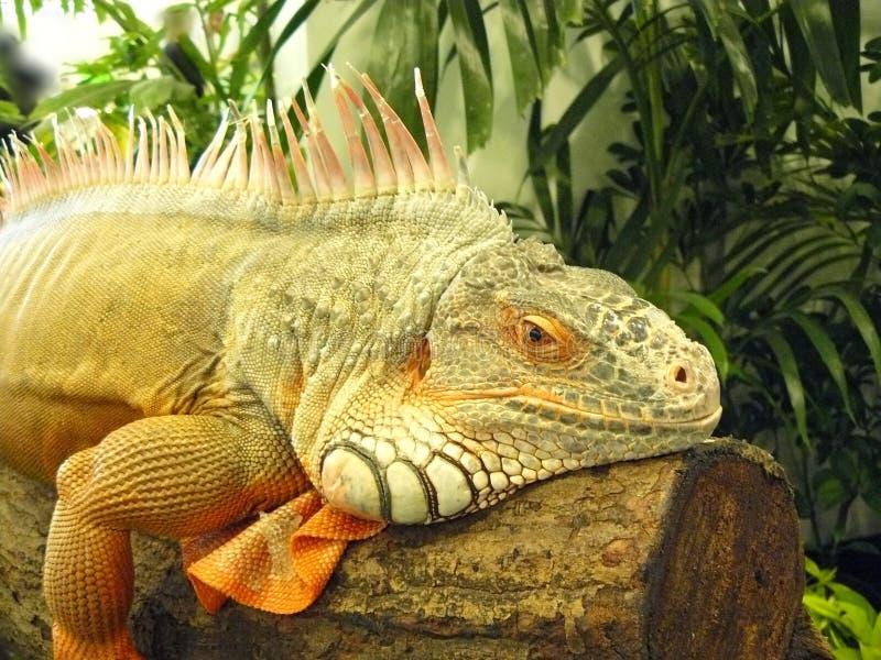 Pospolita iguana lub zieleni iguana zdjęcia stock