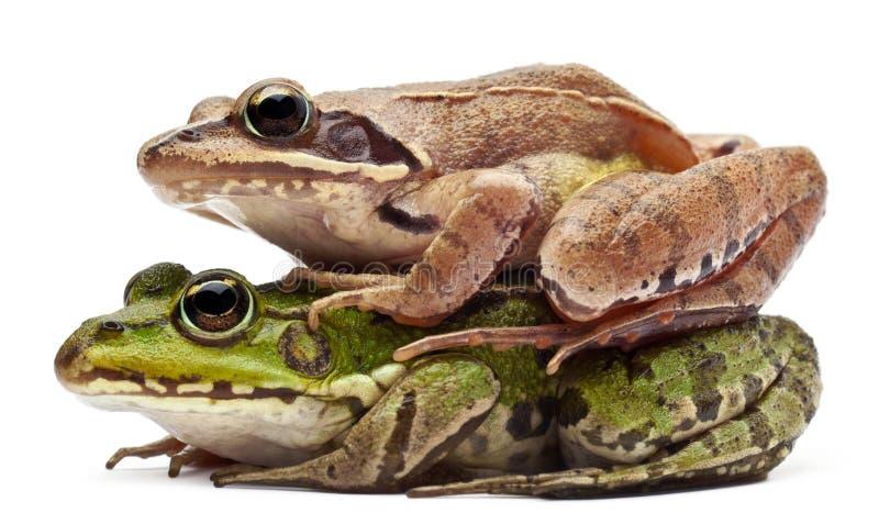 Download Pospolita Jadalna Europejska żaba Obrazy Royalty Free - Obraz: 21996129