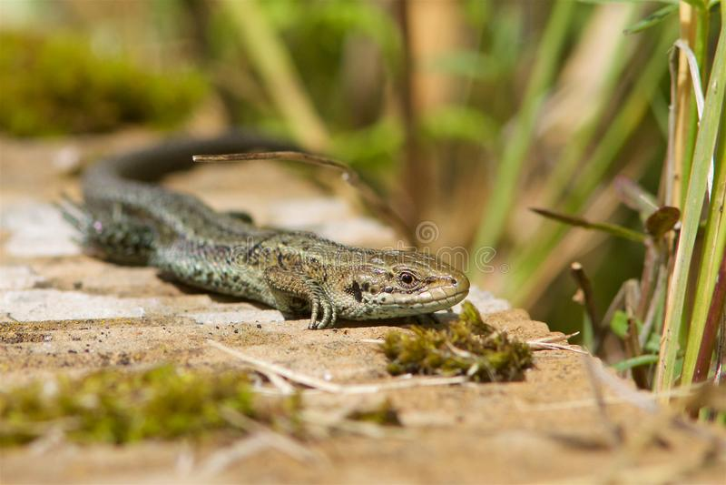 Pospolita jaszczurka, Zootoca vivipara, grże w słońcu obraz stock