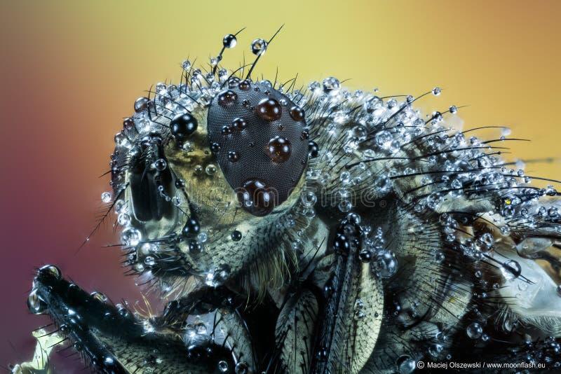 Pospolita komarnica, ciało komarnica, komarnica, Lata zdjęcie royalty free