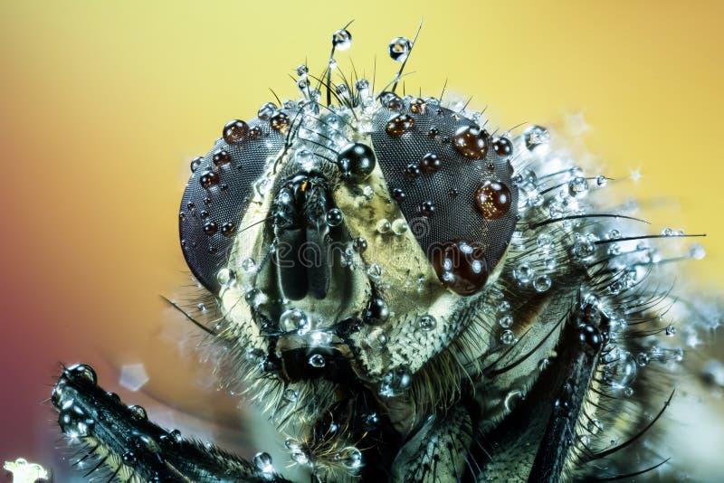 Pospolita komarnica, ciało komarnica, komarnica, Lata fotografia stock