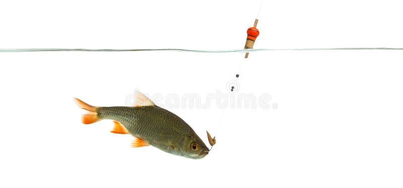 Pospolita płoć pod wodą łapiącą na haczyku zdjęcia royalty free
