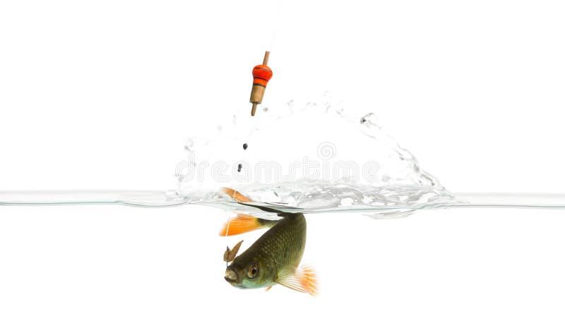 Pospolita płoć pod wodą łapiącą na haczyku obraz royalty free