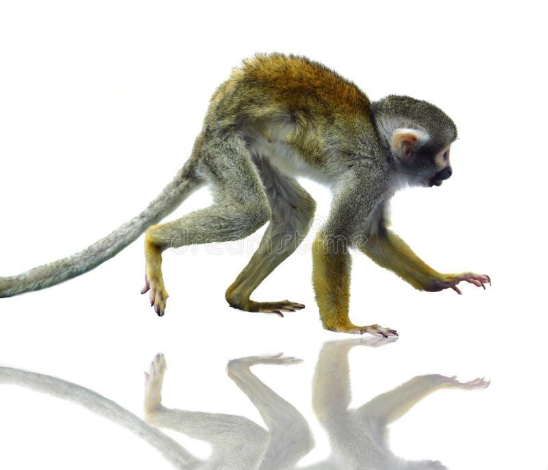 Pospolita wiewiórcza małpa na bielu zdjęcie royalty free