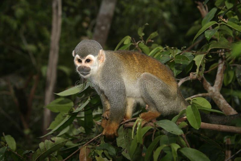 Pospolita wiewiórcza małpa, Saimiri sciureus zdjęcie royalty free