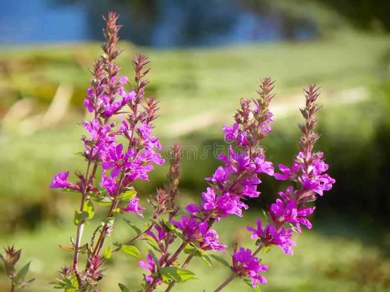 Pospolitego Loosestrife piękny ale najeźdźczy kwiat obraz royalty free