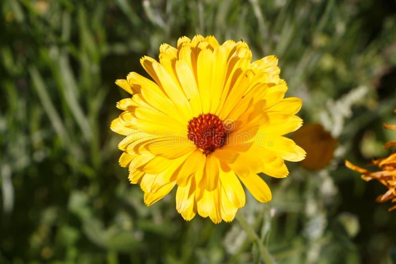 Pospolitego nagietka kwiat w polu fotografia stock