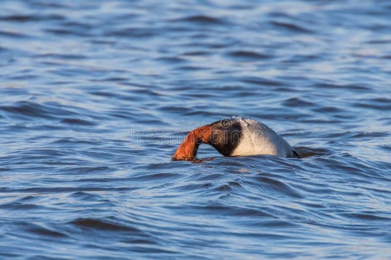 Pospolitego Pochard męski nur w jeziornym Aythya ferina fotografia stock