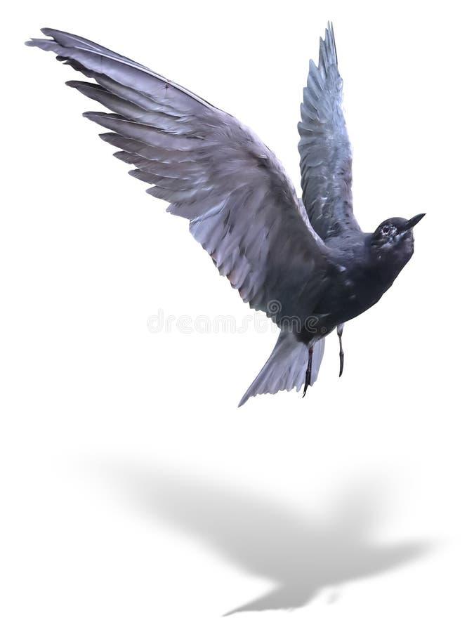 Pospolitego Tern denny ptak w locie odizolowywającym nad bielem z cieniem zdjęcia royalty free