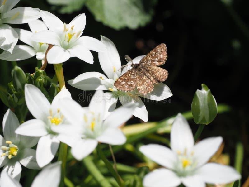 Pospolitego wrzosowiska ćma na białych kwiatach zdjęcie royalty free