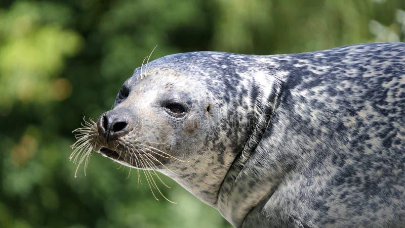 Pospolitej foki portret zdjęcie royalty free