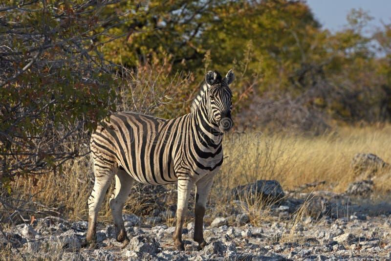 Pospolitej zebry Equus kwaga w Etosha parku narodowym zdjęcie stock