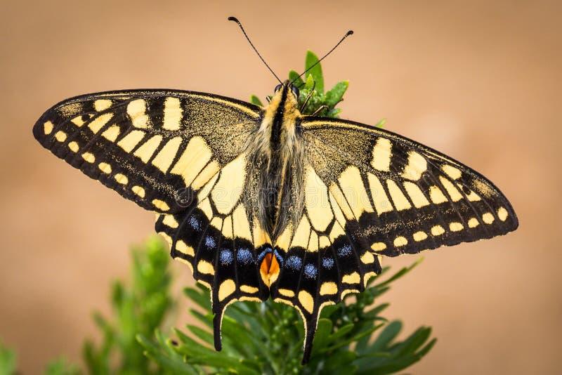 Pospolity Żółty Swallowtail na Rebun wyspie, Japonia fotografia stock