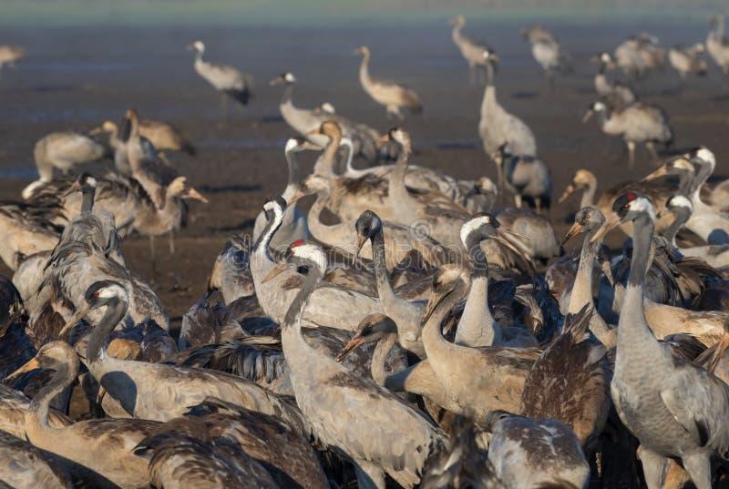Pospolity żuraw w ptaków Naturalnych siedliskach, Hula dolina w Izrael, miejsce spoczynku dla 500 milion ptaków Ptasi dopatrywani obrazy royalty free