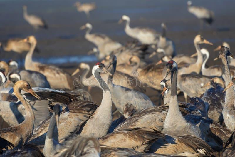 Pospolity żuraw w ptaków Naturalnych siedliskach Kierdle ptaki migrujący w rezerwacie przyrodym Ptaki podróżuje od Europa Afryka  obrazy stock