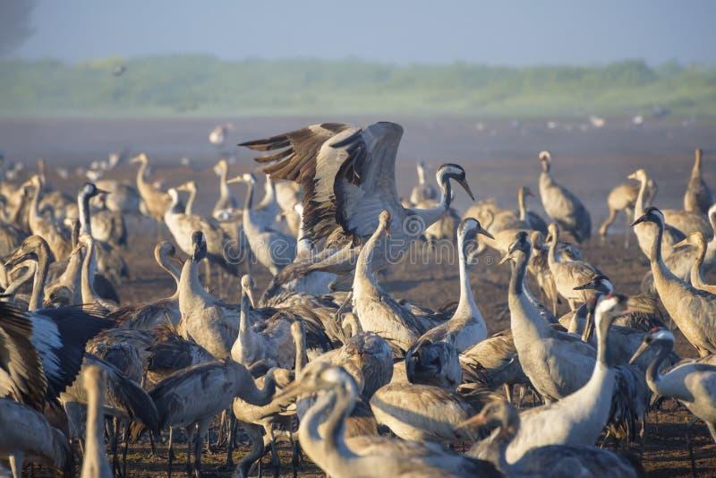 Pospolity żuraw w ptaków Naturalnych siedliskach Kierdle ptaki migrujący w rezerwacie przyrodym Ptaki podróżuje od Europa Afryka  zdjęcie royalty free