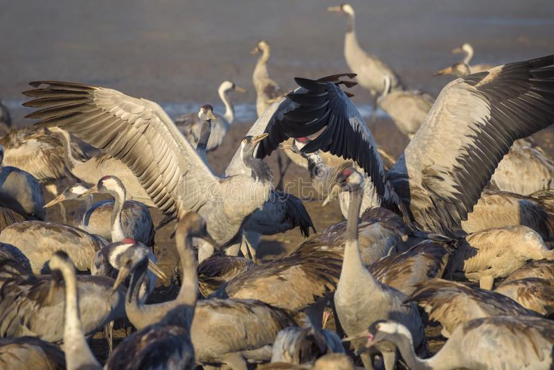 Pospolity żuraw w ptaków Naturalnych siedliskach Kierdle ptaki migrujący w rezerwacie przyrodym zdjęcie royalty free