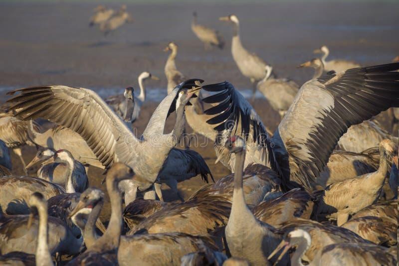Pospolity żuraw w ptaków Naturalnych siedliskach, miejsce spoczynku dla 500 milion ptaków Kierdle ptaki migrujący Ptaki podróżuje zdjęcia royalty free