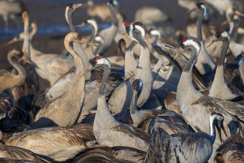 Pospolity żuraw w ptaków Naturalnych siedliskach Miejsce spoczynku dla 500 milion ptaków Kierdle ptaki migrujący w rezerwacie prz obraz stock