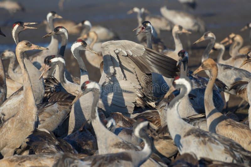 Pospolity żuraw w ptaków Naturalnych siedliskach Ptasi dopatrywanie w Hula dolinie Kierdle ptaki migrujący w rezerwacie przyrodym fotografia royalty free