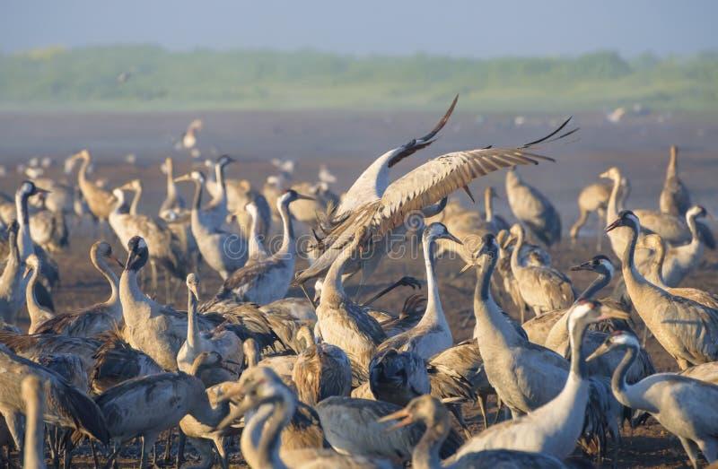 Pospolity żuraw w ptaków Naturalnych siedliskach Ptasi dopatrywanie w Hula dolinie w północnym Izrael Kierdle ptaki migrujący w n obrazy stock