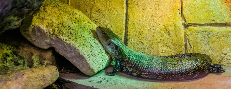 Pospolity błękit tongued skink w zbliżeniu, tropikalnej jaszczurce od Australia i Indonezja, popularny zwierzę domowe wewnątrz w  zdjęcia royalty free