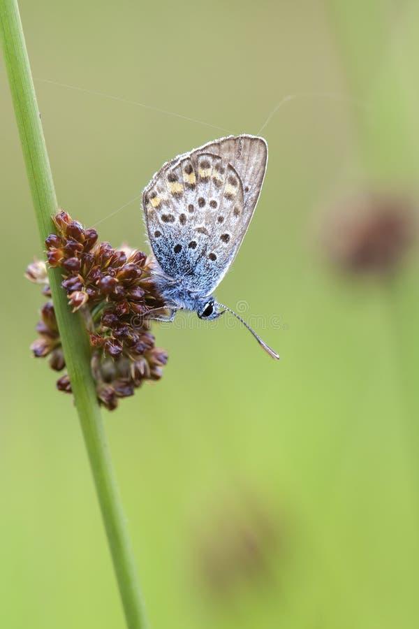 Pospolity błękit - traw turzycy obraz stock