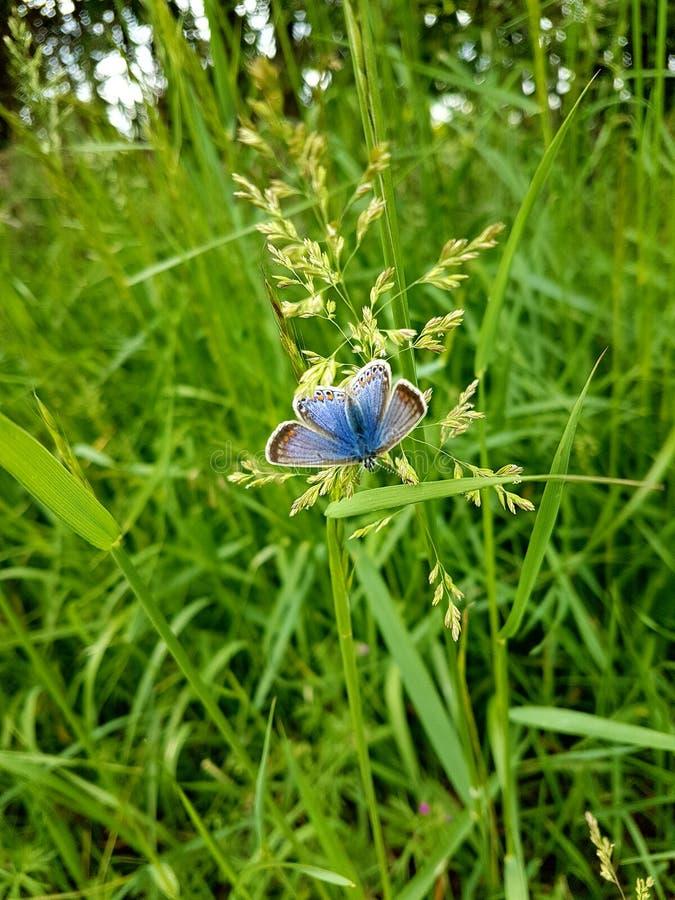 Pospolity Błękitny Żeński motyl zdjęcie stock