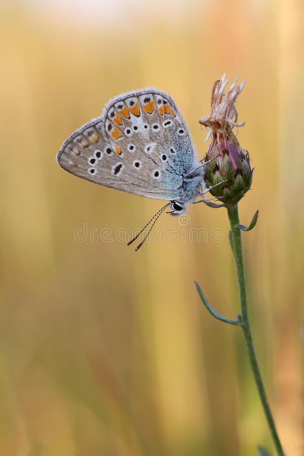 Pospolity Błękitny butterflyPolyommatus Icarus zdjęcie stock