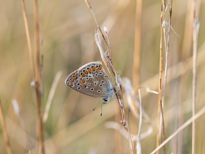 Pospolity błękitny motyli Polyommatus Icarus żeński obsiadanie na suchej trawie fotografia stock
