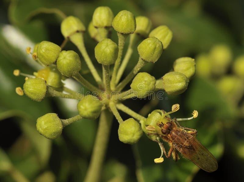 Pospolity bluszcz z Żółtą Gnojową komarnicą obraz royalty free