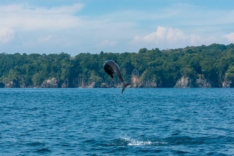 Pospolity Bottlenose delfin obraz royalty free