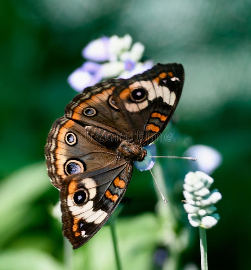 Pospolity Buckeye motyl zdjęcia royalty free