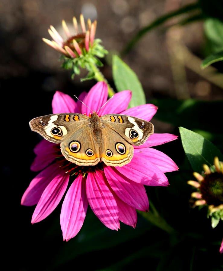 Pospolity Buckeye motyl fotografia stock