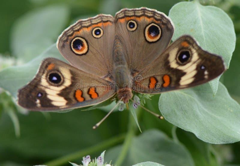 Pospolity Buckeye motyl zdjęcie stock