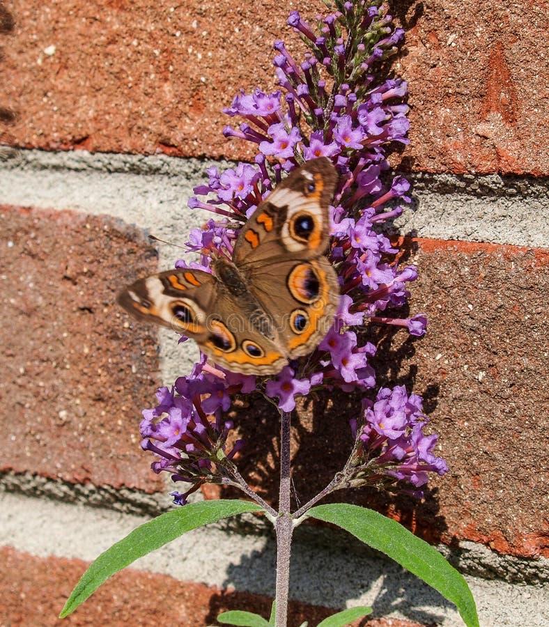 Pospolity Buckeye motyl na Motylim Bush zdjęcia royalty free