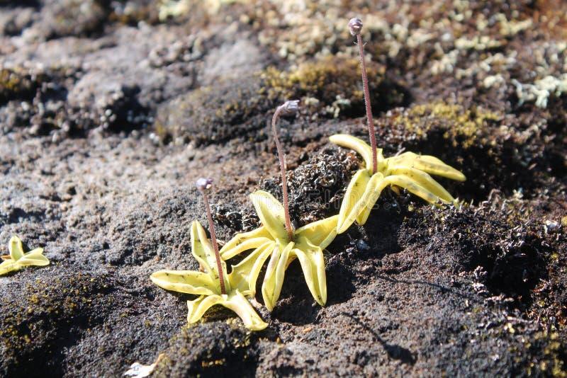 Pospolity butterwort lub Pinguicula vulgaris jesteśmy mięsożernym rośliną zdjęcia royalty free