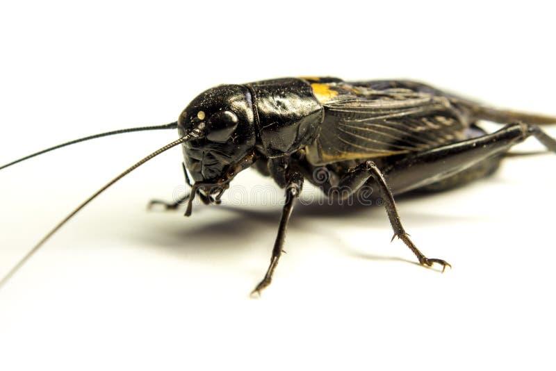 Pospolity czarny krykiet odizolowywał insekta na białym tle fotografia royalty free