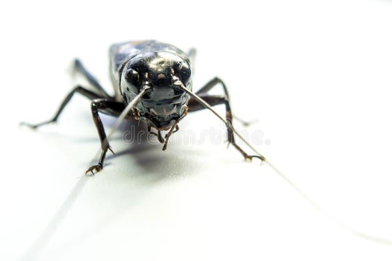 Pospolity czarny krykiet, odosobniony insekt na białym tle zdjęcie stock