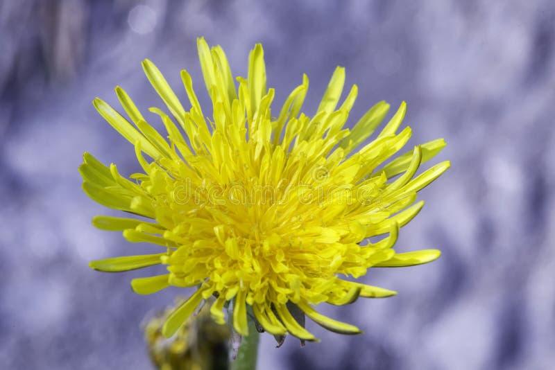 Pospolity dandelion zdjęcia stock