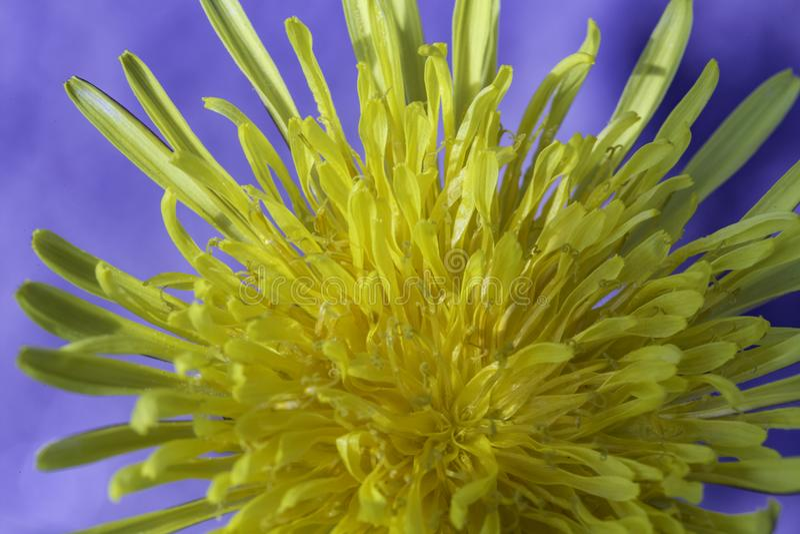 Pospolity dandelion zdjęcie stock