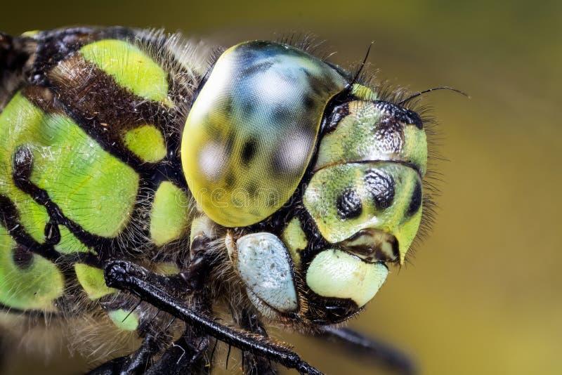 Pospolity domokrążca, Dragonfly, domokrążcy Dragonfly, Aeshna juncea zdjęcia stock