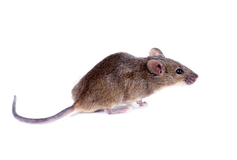 Pospolity domowej myszy obwąchanie na białym tle (Mus musculus) fotografia stock
