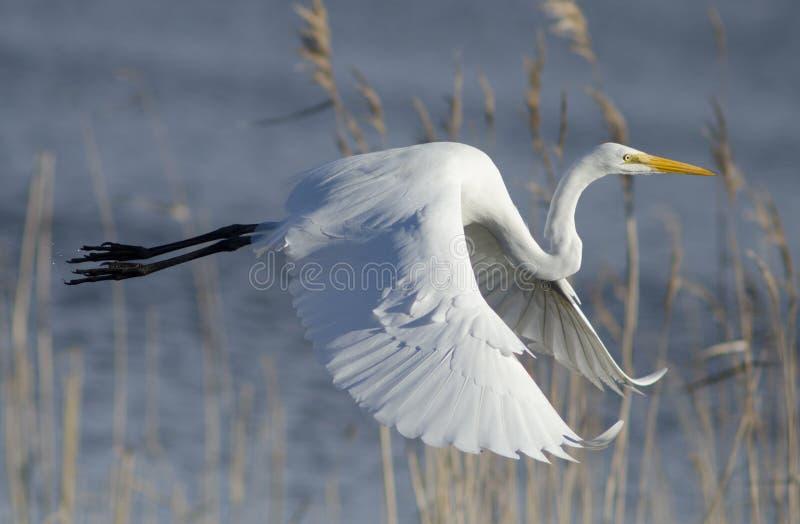 Pospolity Egret w locie zdjęcie royalty free