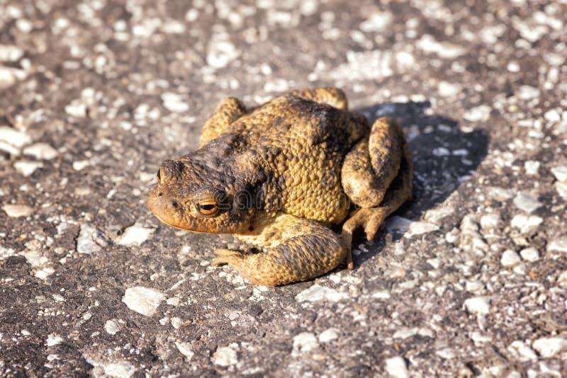 Pospolity europejski kumak lub Bufo bufo na asfaltowej drodze zdjęcie royalty free