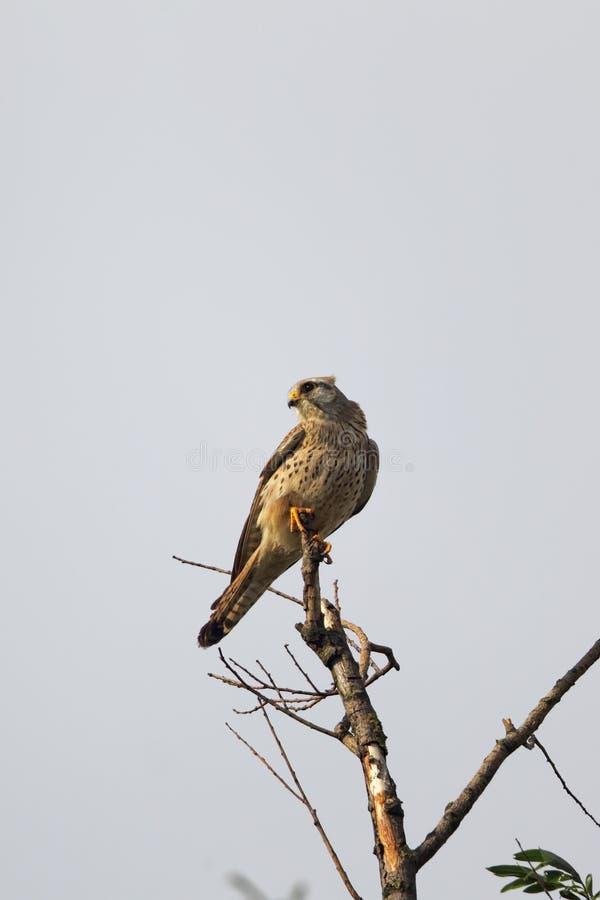pospolity falco kestrel tinnunculus zdjęcie stock